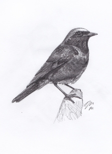 Redstart - Pen & Pencil