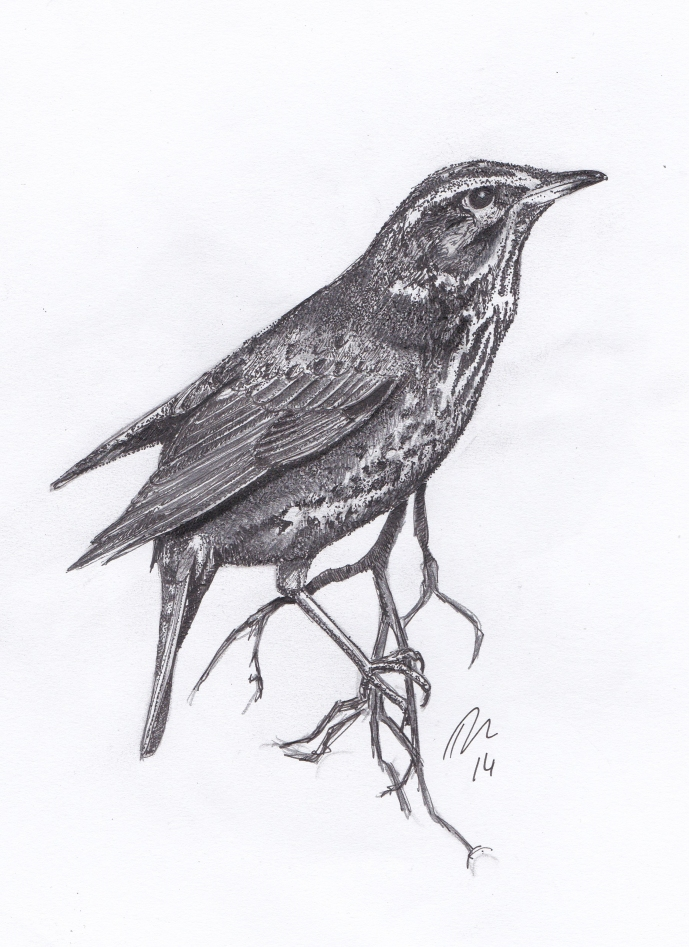 Redwing - Pen & Pencil