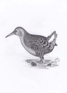 Water rail - Pen & Pencil