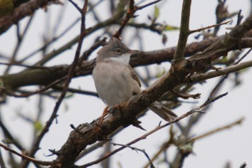 Whitethroat lo