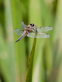 4 spotted chaser crop FL