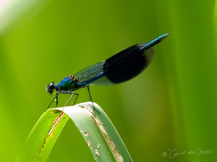 Banded Demoiselle copy