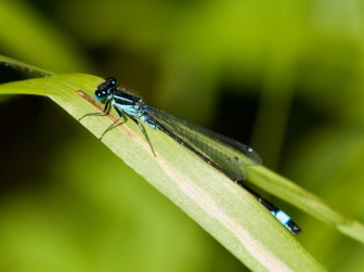 Blue Tailed Damselfly 2