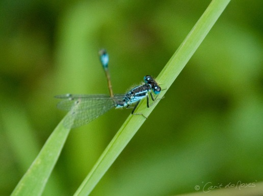BLue tailed Damselfly 2a