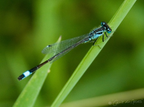 Blue tailed Damselfly 3