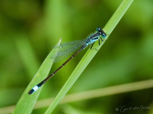 BLue tailed Damselflyaaa