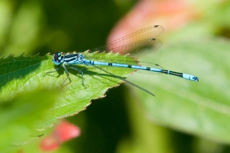 Common Blue Damselfly 2