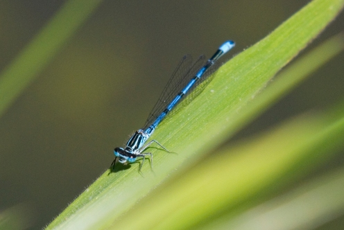 Common Blue Damselfly 3