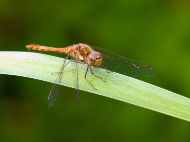 Common Darter 2ddd