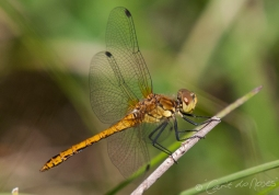 Common Darter 4