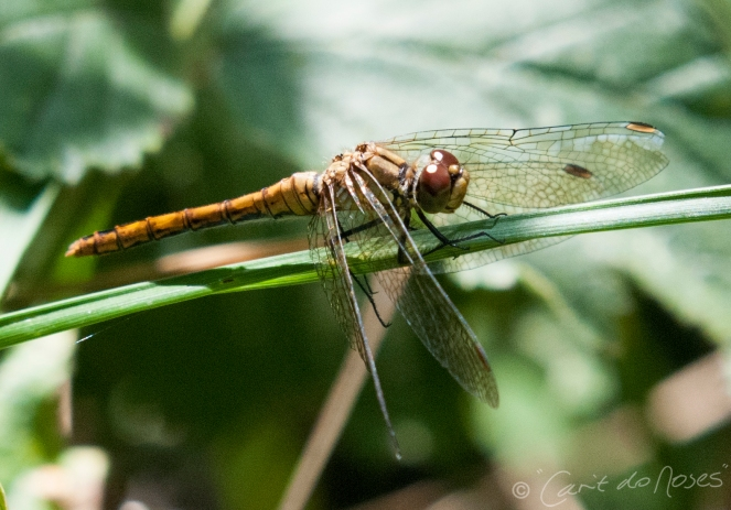 Common Darter 5