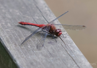 Common Darter 6