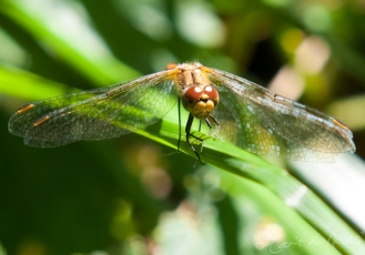 Common Darter 7