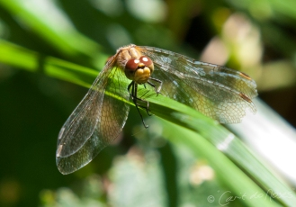 Common Darter 8