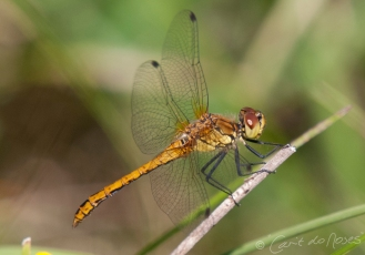 Common Darter 9
