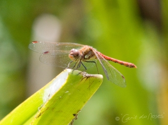Common Darter1 CDN