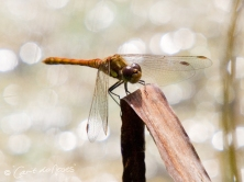 Common Darter2 CDN