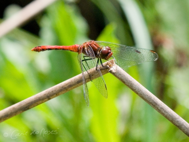 Common Darter3 CDN