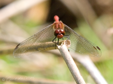 Common Darter4 CDN
