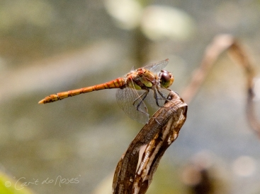 Common Darter5 CDN