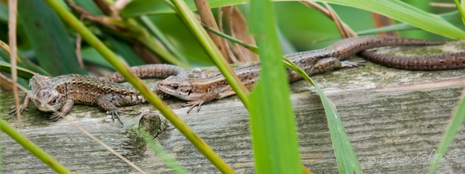 Common Lizard10