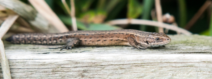 Common Lizard4