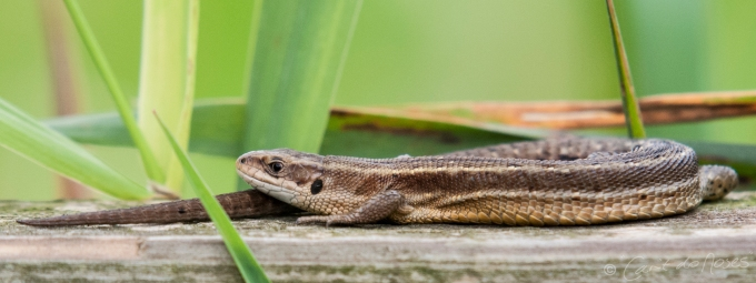 Common Lizard5