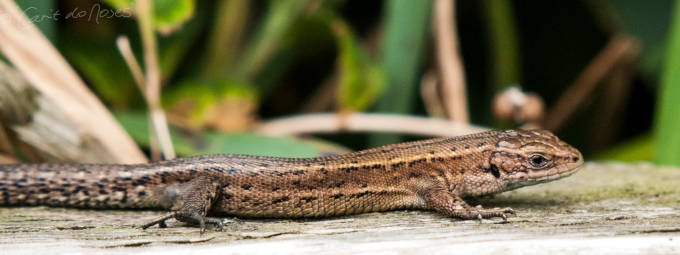 Common (fence) lizards