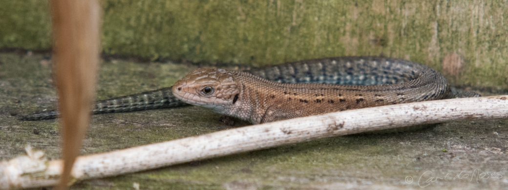Common Lizard7