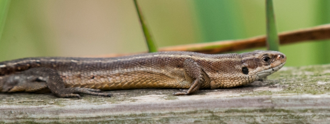 Common Lizard8
