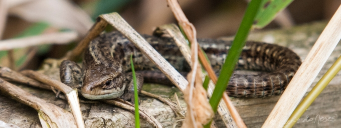 Common Lizard9