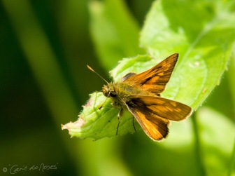 essex skipper 2