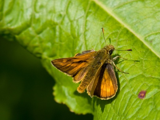 essex skipper 3