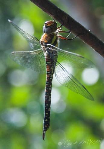 Migrant Hawker female 2