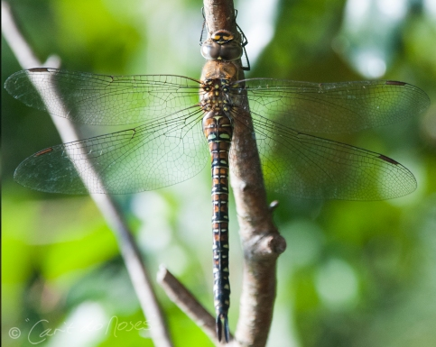 Migrant Hawker female