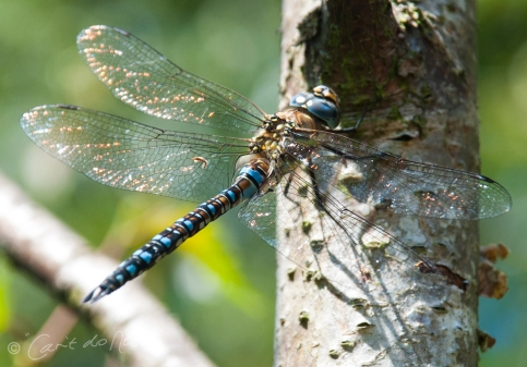 Migrant Hawker male