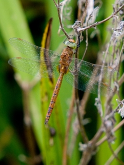 Norfolk Hawker 2 crop FL