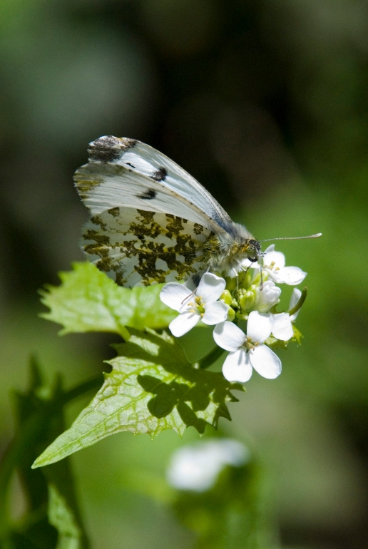 Orange Tip Butterfly - Female
