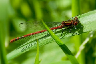 Red Damsilfly
