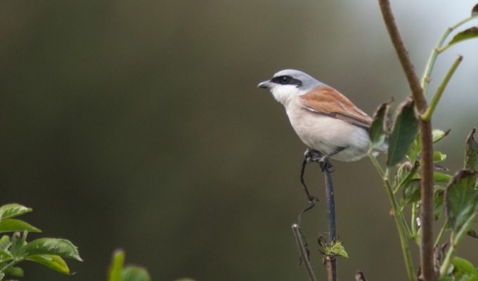 Shrikes, Stints and missed Wrynecks