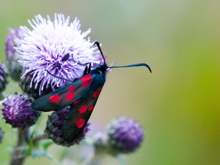 six spotted Burnet 3 copy