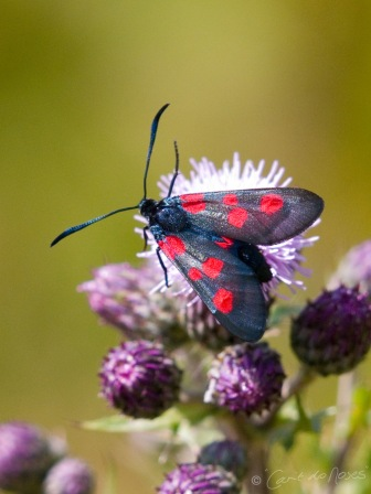 six spotted Burnet 4