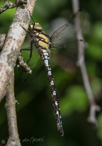 Southern Hawker 3