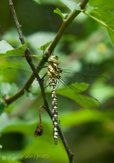 Southern Hawker 4 lo
