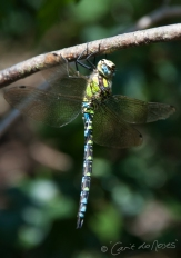 Southern Hawker Aug